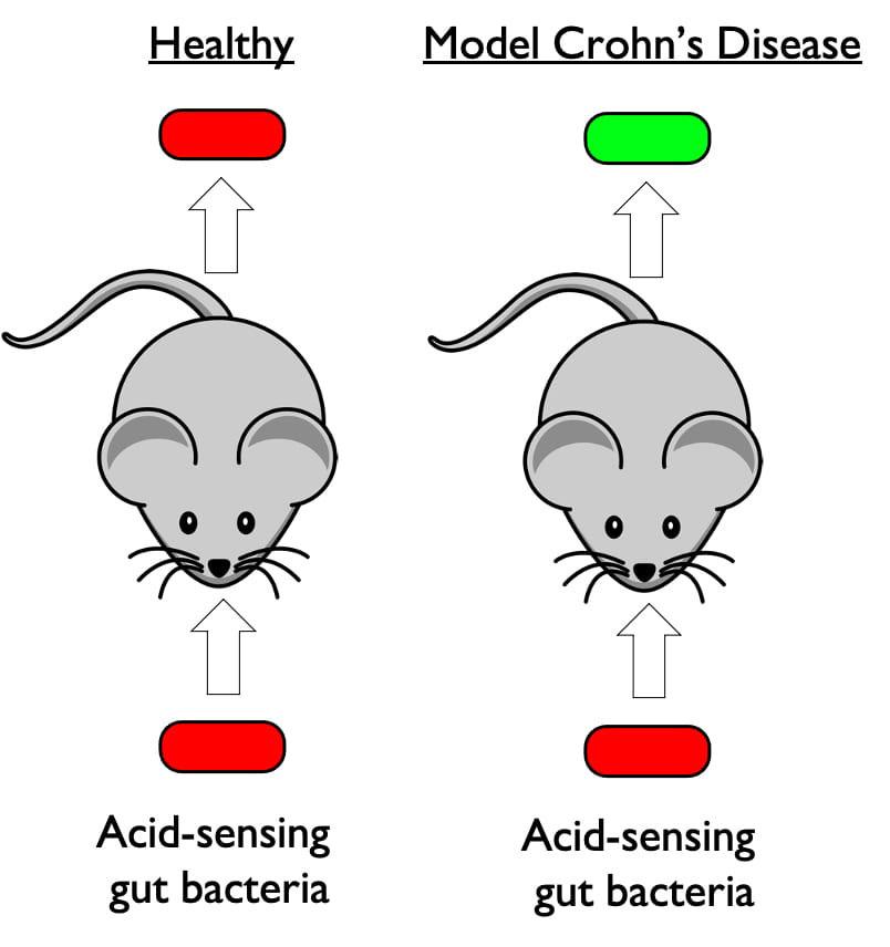 Crohns mouse model